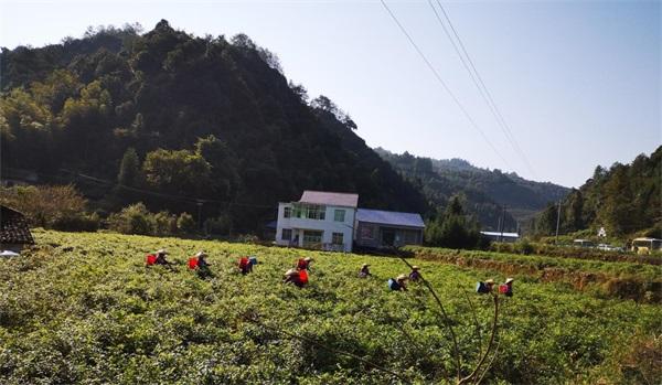 永顺:莓茶产业兴村 抱团发展致富